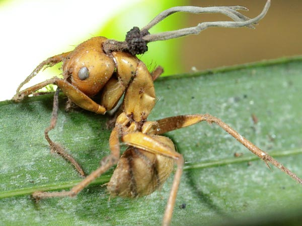 fungo-killer-formica-zombie
