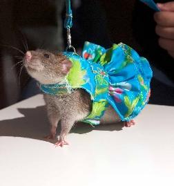rat-modello