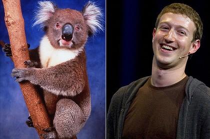 zuckerberg_koala
